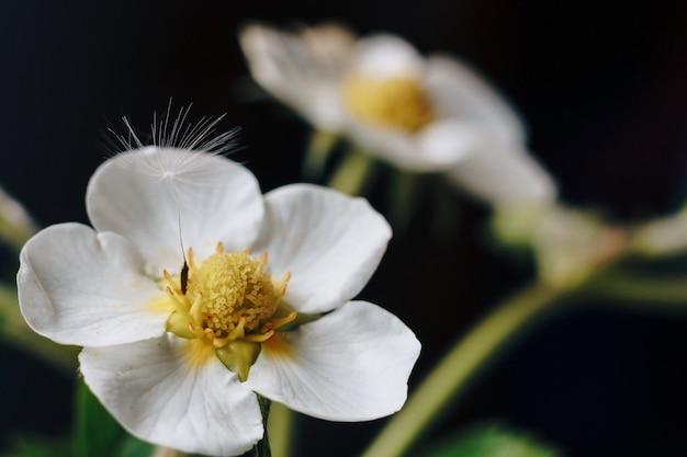 Gros plan d'une fleur de fraise blanche avec duvet de pissenlit