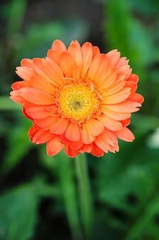 Gros plan de fleur de gerber