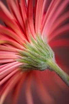 Gros plan d'une fleur de gerbera rouge