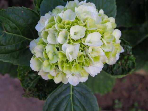 Gros plan d'une fleur d'hortensia blanc et bleu pâle.