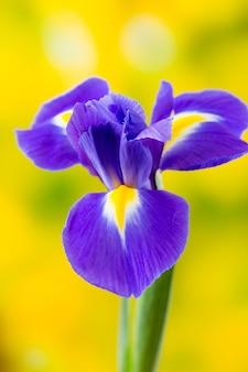 Gros plan de fleur d'iris violet