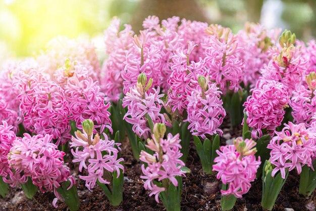Gros plan sur fleur de jacinthe rose au printemps