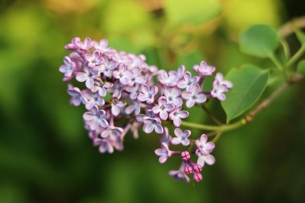 Gros plan d'une fleur lilas avec un arrière-plan flou