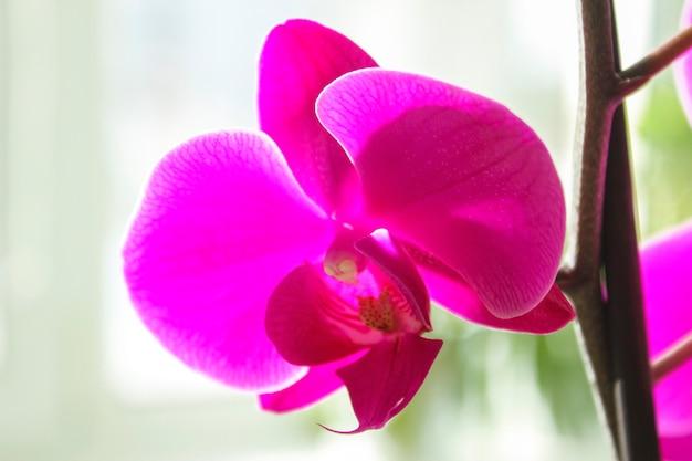 Gros plan fleur lilas phalaenopsis