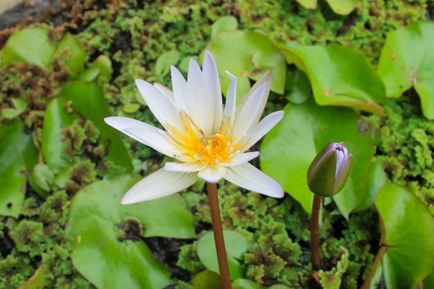 Gros plan d'une fleur de lotus blanc en fleur