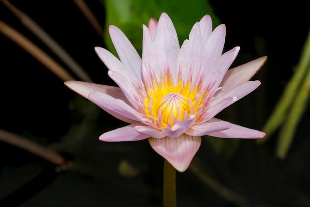 Gros plan fleur de lotus couleur jaune et violet