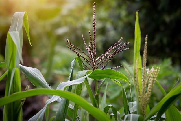 Gros plan, fleur maïs, fleurir, jardin
