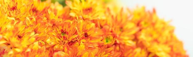 Gros plan de la fleur de maman orange sur fond blanc avec copie espace en utilisant comme arrière-plan la flore naturelle
