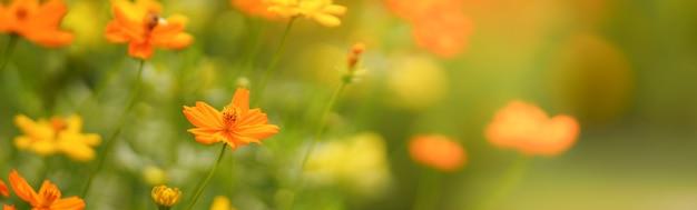 Gros plan de la fleur orange cosmos sous la lumière du soleil avec copie espace en utilisant comme arrière-plan paysage de plantes naturelles