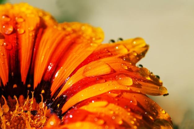 Gros plan sur fleur d'oranger avec des gouttes d'eau