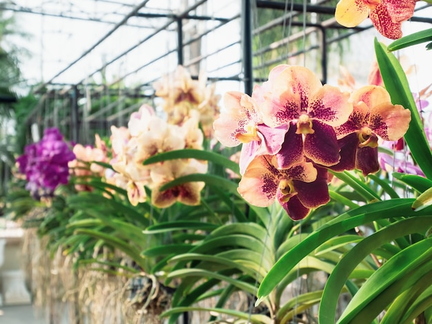 Gros plan sur une fleur d'orchidée vanda jaune rose dans un jardin d'orchidées à l'été ou au printemps. fleur d'orchidée pour la beauté de la nature et la conception d'arrière-plan de l'agriculture. mise au point sélective. dof peu profond.