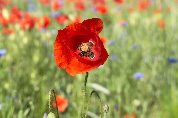 Gros plan sur une fleur de pavot rouge flamboyante à l'extérieur sur un champ à la fin de mai, début juin