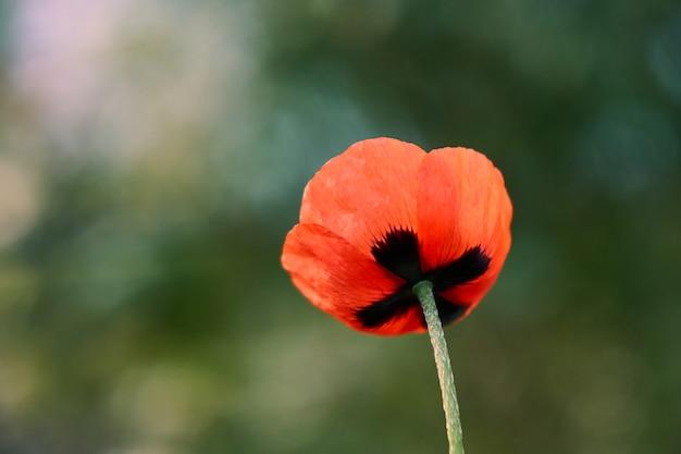 Gros plan de fleur de pavot rouge sur fond vert
