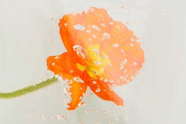 Gros plan de fleur de pavot rouge avec des gouttes d'eau