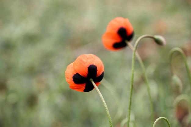Gros plan de fleur de pavot rouge