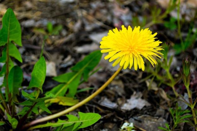 Gros plan sur fleur de pissenlit jaune dans la nature