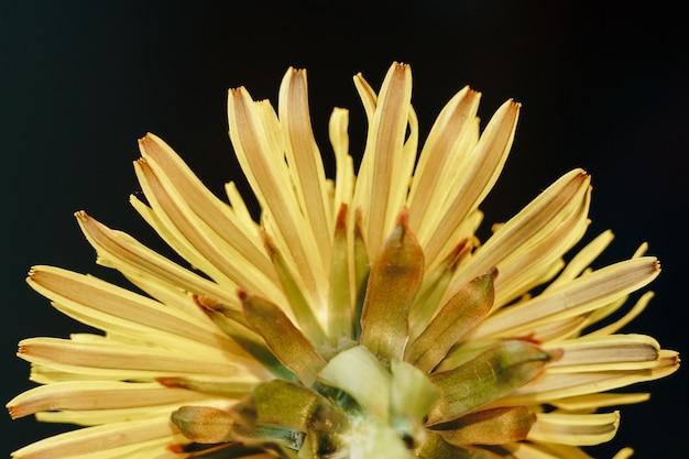 Gros plan, de, a, fleur pissenlit jaune