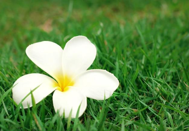 Gros plan d'une fleur de plumeria jaune blanc (frangipanier) sur fond d'herbe verte.
