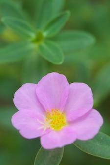 Gros plan de fleur de pourpier commun