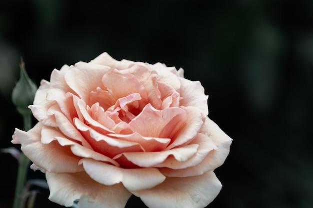 Gros plan de fleur rose pêche sur fond sombre.
