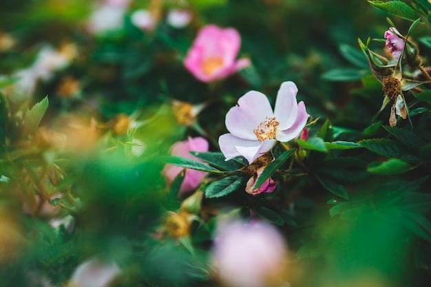 Gros plan de fleur rose