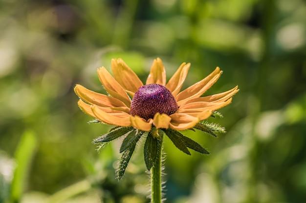 Gros plan de la fleur de rudbeckia