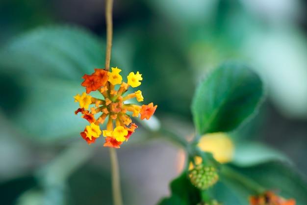 Gros plan de fleur de sauge sauvage