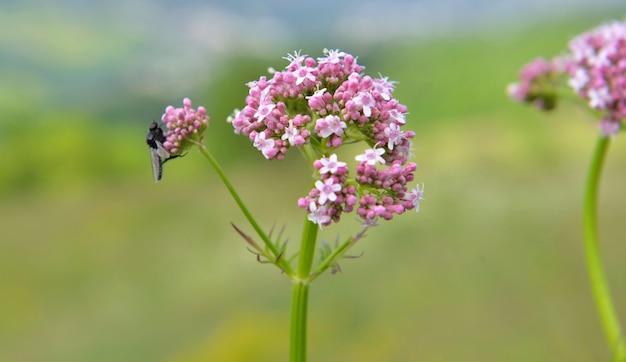 Gros plan sur la fleur sauvage alpine qui fleurit dans le pré sur fond vert flou