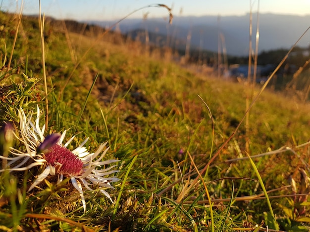 Gros plan d'une fleur sur le terrain pendant le coucher du soleil
