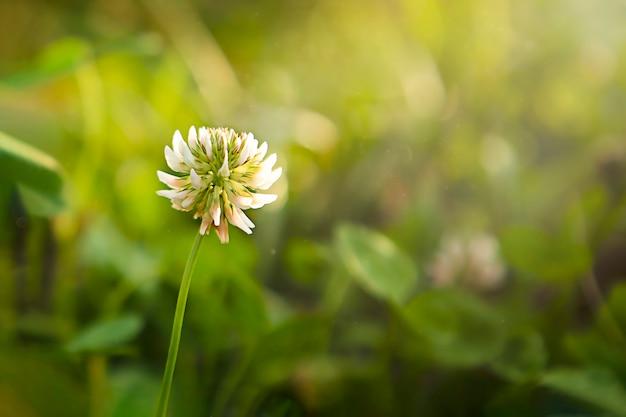 Gros plan de fleur de trèfle dans un champ au coucher du soleil