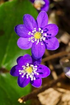 Gros plan d'une fleur tropicale violette