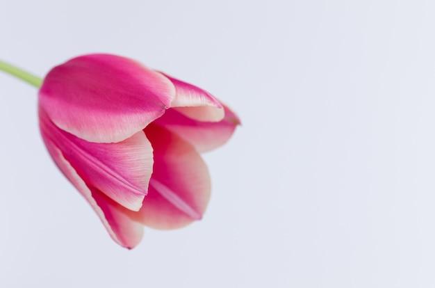 Gros plan d'une fleur de tulipe rose isolé sur fond blanc avec un espace pour votre texte