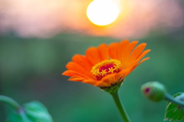 Gros plan de fleur de zinnia orange le soir au coucher du soleil.