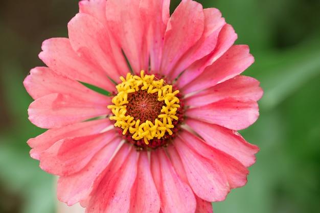 Gros plan de fleur de zinnia rose en fleurs
