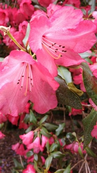 Gros plan de fleurs d'azalée rose dans le jardin