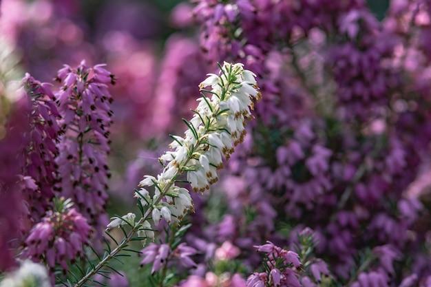 Gros plan de fleurs blanches et violettes