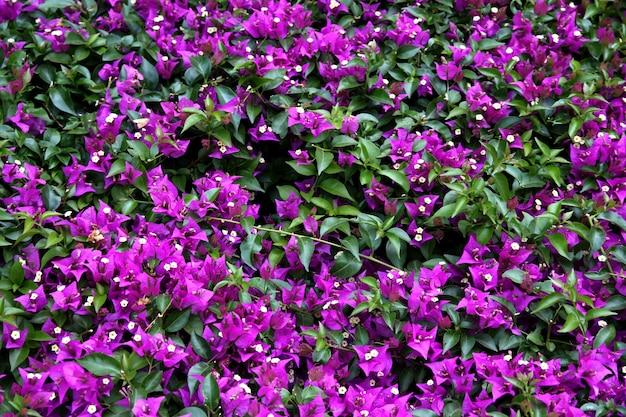 Gros plan de fleurs de bougainvilliers violets