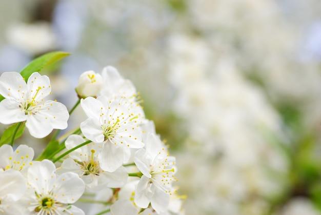 Gros plan des fleurs de cerisier au printemps