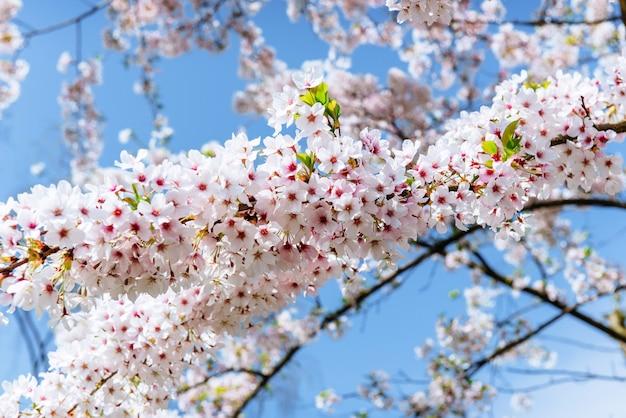 Gros plan de fleurs de cerisier aux amandes roses. fleurs de printemps