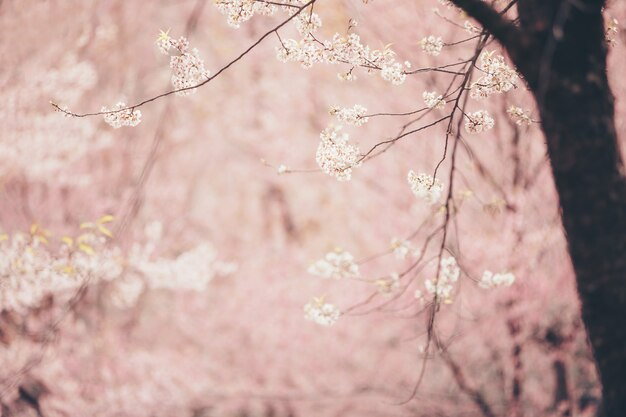 Gros plan de fleurs de cerisier en fleurs