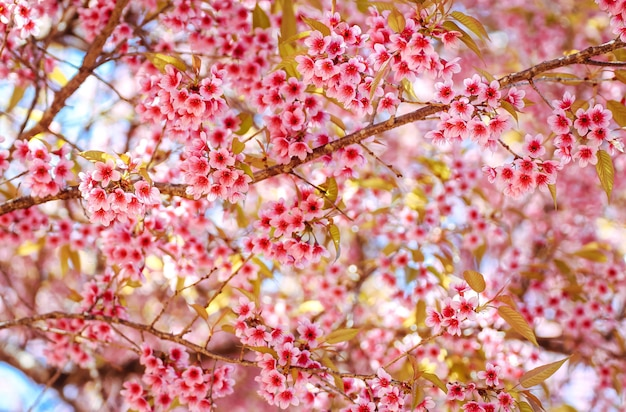 Gros plan des fleurs de cerisier de l'himalaya sauvage ou sakura