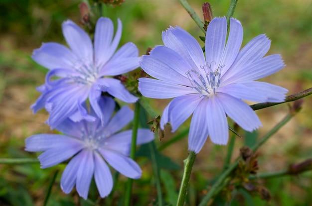Gros plan de fleurs de chicorée bleu-lilas. fleur bleue de chicorée sauvage. cichorium intybus. fleur de chicorée commune ou cichorium intybus, gros plan, macro. la fleur de chicorée est bleue.