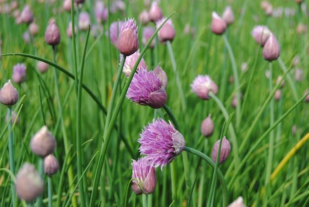 Gros plan de fleurs de ciboulette (allium schoenoprasum)