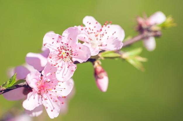 Gros plan de fleurs de fleur de pêche rose sur une branche d'arbre. le printemps.