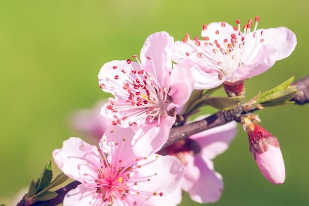 Gros plan de fleurs de fleur de pêche rose sur une branche d'arbre