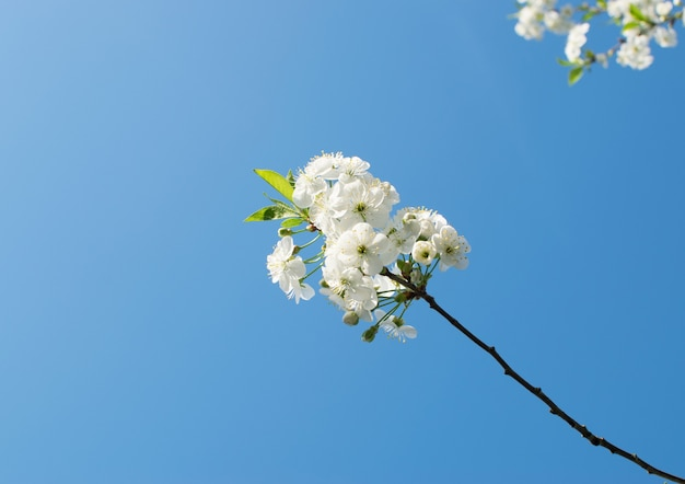 Gros plan sur les fleurs de fruits blancs dans le parc