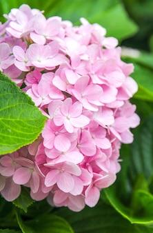 Gros plan de fleurs d'hortensias roses