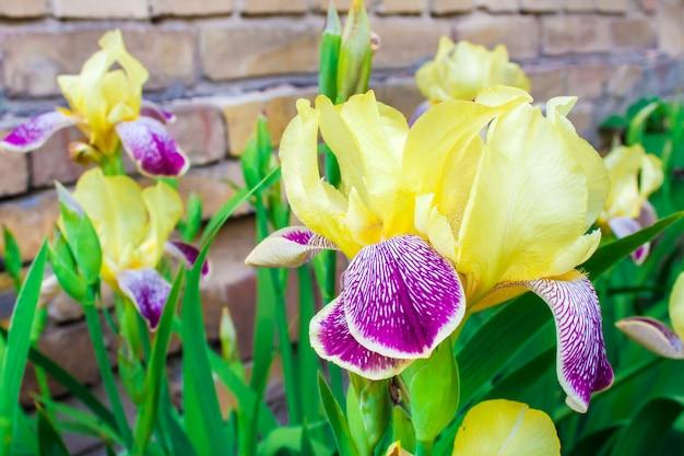 Gros plan de fleurs iris cultivar violet et jaune