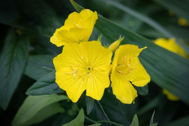 Gros plan de fleurs jaune vif d'oenothera fruticosa pour la conception d'emballage de semences