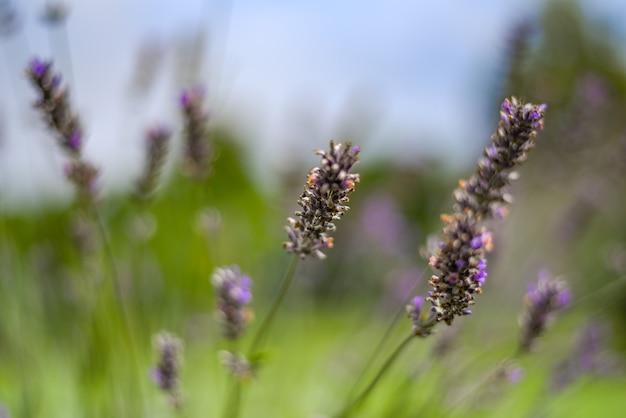 Gros plan de fleurs de lavande pourpre en fleurs